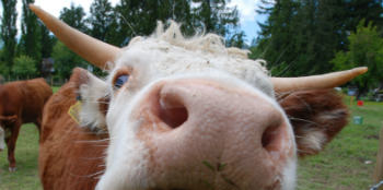 Free range beef Cowichan Valley Farms