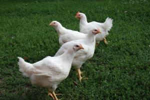 free range chicken meat birds Duncan Cowichan Valley Farms