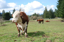 Island beef cowichan valley farms
